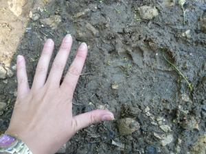 impronte orso (3)