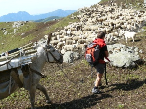 Pecore (1)